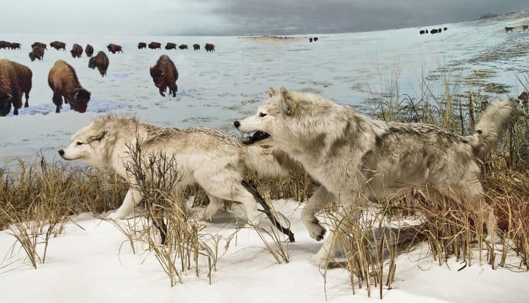 Image of wolves hunting representing the 'Hack the Air Force' bug bounty program for white hats
