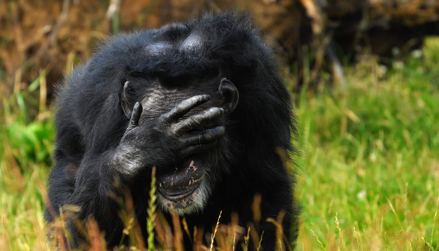 Close up of a chimpanzee covering face showing privacy infringement by facial recognition system